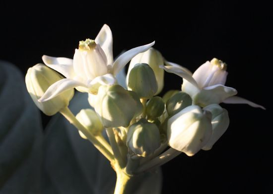 crown flowers 5_550.jpg