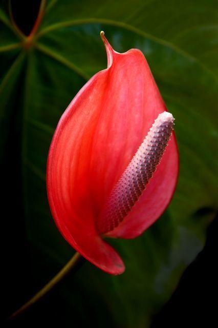 flamingo flower_640.jpg