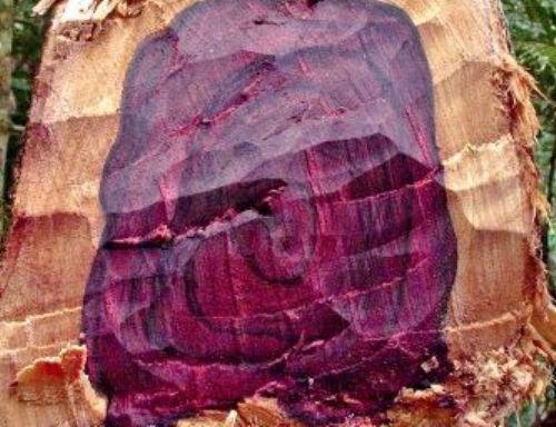 newly-felled-rosewood-tree_500.jpg